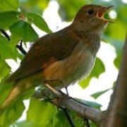 Awesome nightingale
