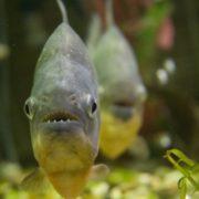 Awesome piranha