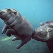 Baby hippo and his mother