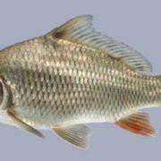 Beautiful carp