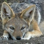 Beautiful jackal