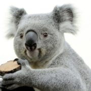 Beautiful koala