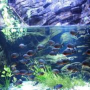 Beautiful piranha