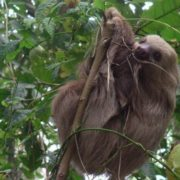 Beautiful sloth