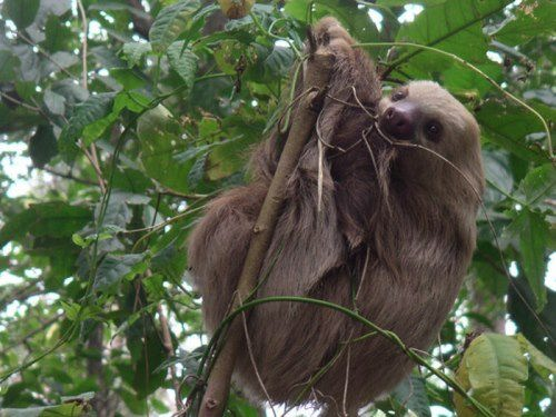 Beautiful sloth