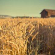 Beautiful wheat. Photo by Alex Teuscher