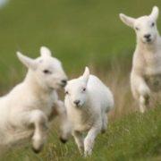 Bouncing lambs