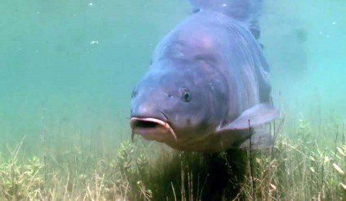 Carp - Fishy Survivor