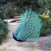 Charming peacock