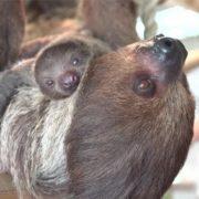 Charming sloths