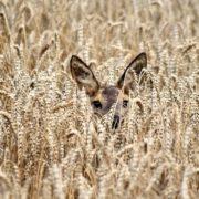 Charming wheat. Photo by Ger Bosma