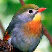 Chinese nightingale