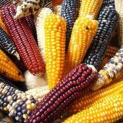 Colorful maize