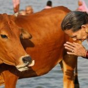 Cow is a sacred animal in India