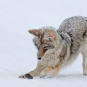 Coyote is hunting