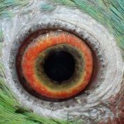Curious eye of the parrot