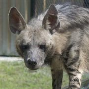 Cute Hyaena hyaena