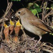 Cute nightingales