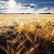 Cute wheat. Photo by Jonathan Coe