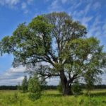 Elm – beautiful tree