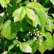 Flowers of elm
