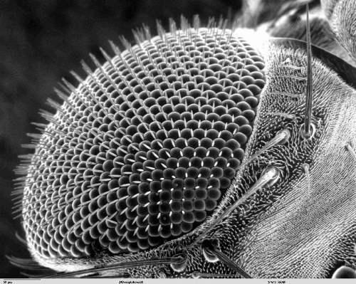 Fly's eye under a microscope