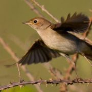Gorgeous nightingale
