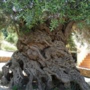 Gorgeous olive