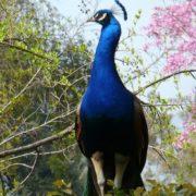 Gorgeous peacock
