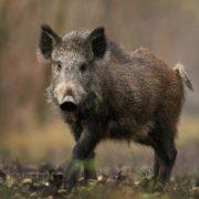 Gorgeous pig