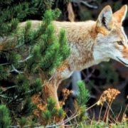 Graceful coyote