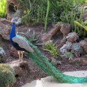 Graceful peacock