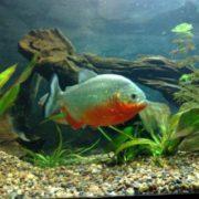 Graceful piranha