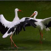Graceful storks