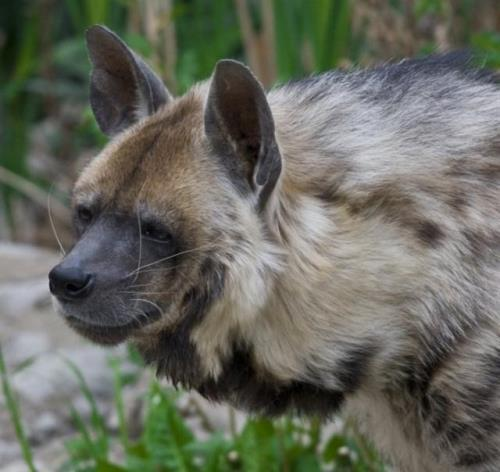 Hyena - African and Asian carnivores