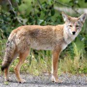 Interesting coyote