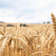 Interesting wheat