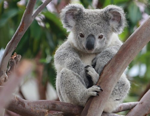 Koalas - Bears That Aren't Really Bears