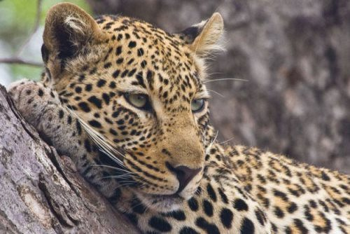 Leopard - wild spotted cat