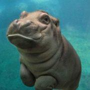 Little hippo underwater
