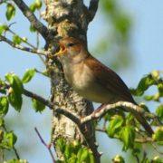 Lovely nightingale