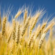 Lovely wheat