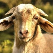 Magnificent goat