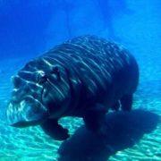 Magnificent hippopotamus