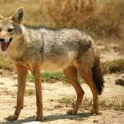 Magnificent jackal