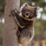Magnificent koala