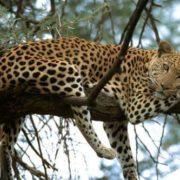 Magnificent leopard