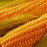 Maize – Queen of the fields