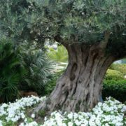 Olive - tree with ancient history