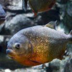 Piranha – Frightening Little Fish